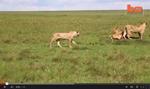 lioness_video